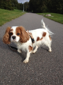 Chichi på promenad