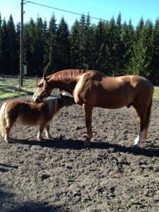När hästar ligger i hagen håller någon av dem vakt - den lille Acke får vara vaken när stora Nalle sover